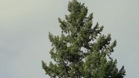 Wind blowing in tree top. Wind blowing through the branches of a single pine tree against an overcast sky stock footage