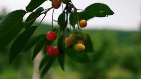 Wind blowing cherries stock video footage