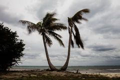 Wind Blowing Coconut Palms on Caribbean Island Royalty Free Stock Photos
