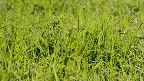 Wind blowing on grass. Strong wind blowing on green Grass closeup stock video footage