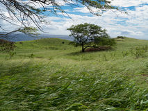 Wind blowing hard. On the south coast of Maui. Grass and trees bend of the force of the wind Stock Photography