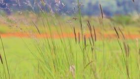 Wind through long grass. Wind blowing through long wild grass stalks in field stock video footage