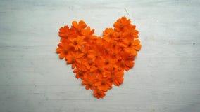 Heart shape orange cosmos flower stock video footage