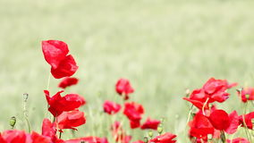 Wind blowing over poppy flowers stock footage
