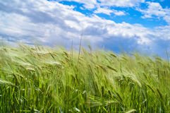 Wind blowing over wheat crop. Against blue cloudy sky Royalty Free Stock Photography