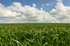 Wind blowing over wheat crop Royalty Free Stock Photos