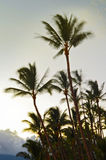 Wind blowing palm trees. Wispy fronds show movement in this pleasant image of palm trees blowing in the wind. Taken during sunset in Maui Hawaii stock photography