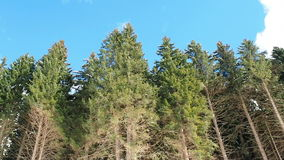 Wind blowing through pines stock footage
