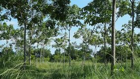 Wind blowing through rubber trees stock video