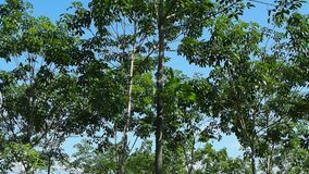 Wind blowing through rubber trees stock footage