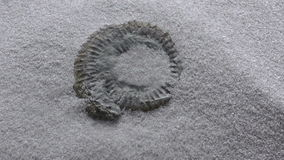 Wind blowing sand to reveal an Ammonite fossil stock video