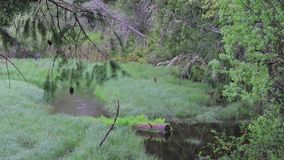 Panning down through trees wind and grasses to pools. Wind blowing through trees and grass in washington state wetlands stock video