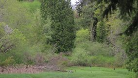 Waves of wind through grass and trees. Wind blowing through trees and grass in Washington state wetlands stock footage