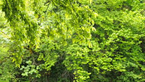 Wind blowing vibrant leaves. Branches of trees are heard in the wind.  stock video