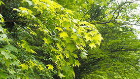 Wind blowing vibrant leaves. Branches of trees are heard in the wind.  stock video footage