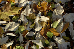 Wind Blown Autumn Leaves Stock Photos