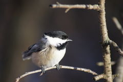 Wind blown chickadee. Royalty Free Stock Images