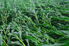 Wind-blown corn Stock Photo