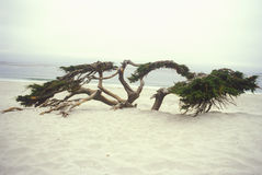 Wind blown Cypress tree in dunes, Carmel, CA Stock Photography