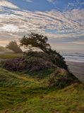 Wind Blown Cypress Table Bluff. Wind blown cypress tress along the Pacific Ocean on Table Bluff near Eureka, California in late afternoon royalty free stock images