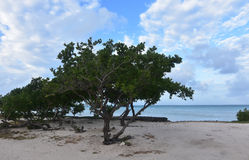 Wind Blown Divi Trees Lining the Coast of Aruba Stock Images