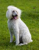 Wind blown dog. Standard sized poodle on the lawn with wind blowing her hair Stock Image