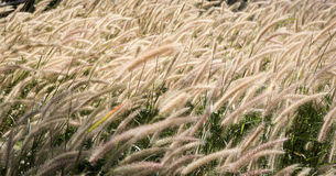 Wind blown grass Royalty Free Stock Photography