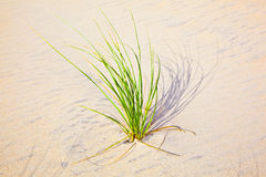 Wind blown grass on sand dune Royalty Free Stock Images