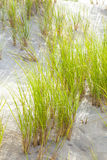 Wind blown grass on sand dune Royalty Free Stock Photo