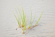 Wind blown grass on sand dune Royalty Free Stock Photos