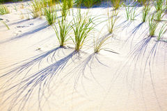 Wind blown grass on sand dune Royalty Free Stock Photography