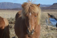 Wind Blown Mane on a Horse Royalty Free Stock Photo