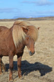 Wind Blown Mane on an Icelandic Horse Royalty Free Stock Image