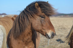 Wind Blown Mane of an Icelandic Horse Royalty Free Stock Image