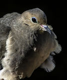 Wind-Blown Mourning Dove Stock Photos