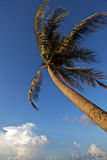 Wind Blown Palm Royalty Free Stock Images