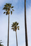 Wind Blown Palm Trees # 2. Palm trees taking on a windy day, with a partly cloudy sky as background Stock Photo
