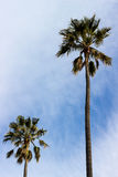 Wind Blown Palm Trees. Palm trees taking on a windy day, with a partly cloudy sky as background Royalty Free Stock Image