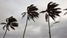 Wind blown palm trees royalty free stock photo