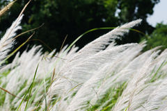 Wind blown reeds Stock Image