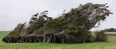 Wind blown tree Stock Images