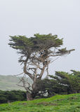 Wind blown tree along the Oregon coast Royalty Free Stock Photo