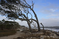 Wind blown tree on the beach at Jeklly Island Royalty Free Stock Image