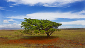 Wind Blown Tree, Hawaii. Wind blown tree at South Point, Big Island, Hawaii stock image