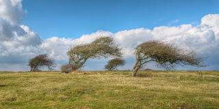 Wind blown trees. In England stock images