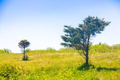 Wind-blown trees by the ocean in a field of grass royalty free stock image