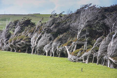Wind Blown Trees, Slope Point. Twisted and deformed, wind-blown trees at Slope Point, the southernmost point of the South Island, New Zealand Royalty Free Stock Images