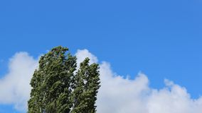 Wind blown treetops under a blue sky with clouds. Wind through fresh green leaves on branches in early summer royalty free stock photography