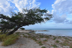 Wind blown Watapana Tree on The Coast of Aruba Royalty Free Stock Image