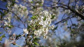Cherry flowers in the wind. Wind blows through the blooms of a cherry tree in a countryside garden stock footage